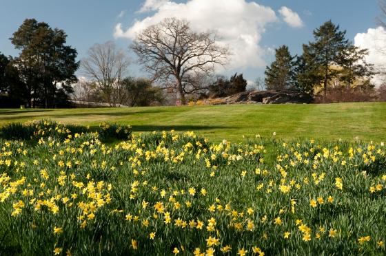 MEC-daffodils-everywhere